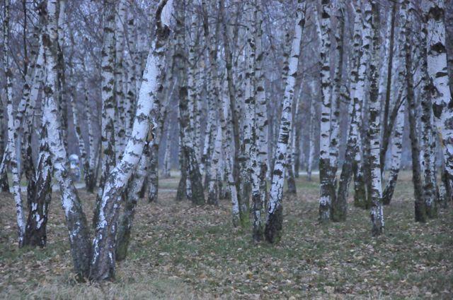 Birch forest in the Berlin Mauerpark