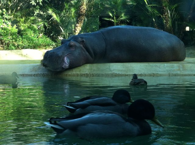 Hippopotamus at the Berlin Zoo