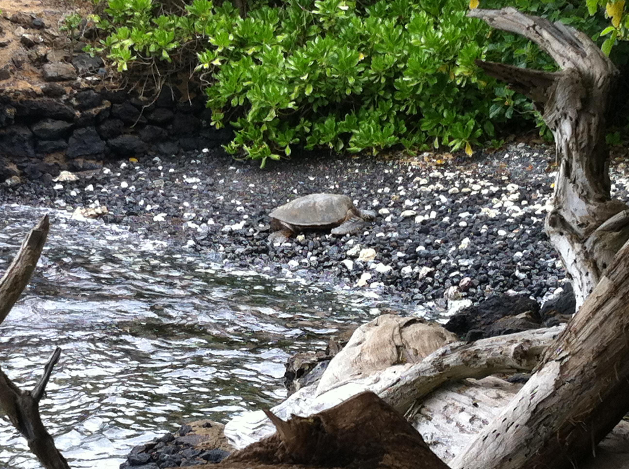 Giant sea turtle on Maui
